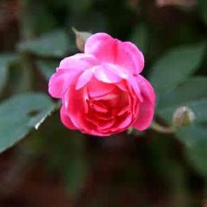 苦水玫瑰的传说