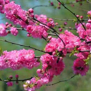 榆叶梅花语