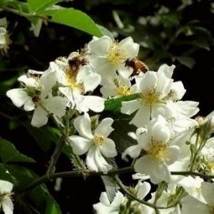 中国最具凄美传说故事的植物--荼蘼花