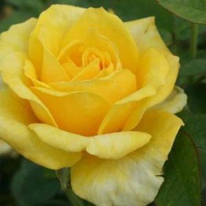 金凤凰rosa golden scepter