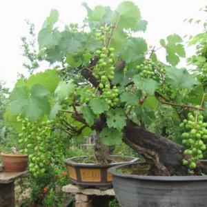 掌握以下盆栽葡萄技巧,让你年年都有吃不完的葡萄