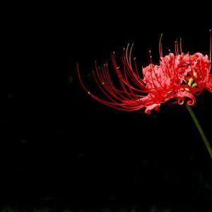 中国最具凄美传说故事的植物--彼岸花