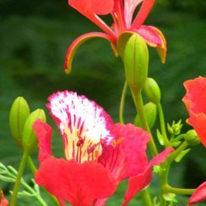 马达加斯加国花——凤凰木