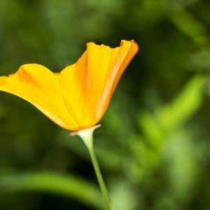 花菱草的花语