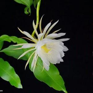 中国最具凄美传说故事的植物--昙花