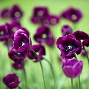Purple tulip—Mito enjoy