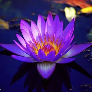 紫色睡莲的花语:梦幻,纯洁,好运