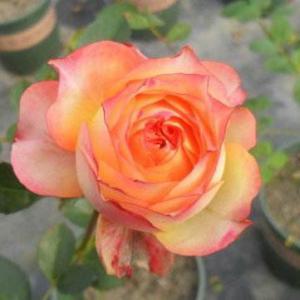浪漫玫瑰面纱(Romantic Rose veil)