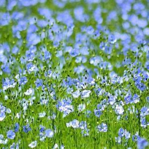 白俄罗斯的国花:亚麻