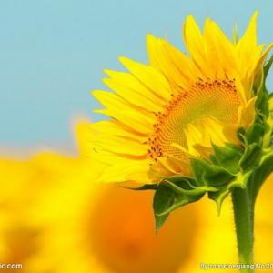 中国最具凄美传说故事的植物--向日葵