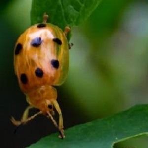 地被类虫害:甘草跗粗角萤叶甲