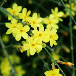 迎春花花语是什么