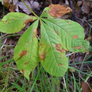 Guignardia Blotch of Horse Chestnut