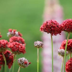 海石竹的花:体谅、贴心