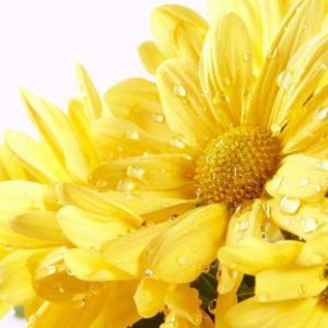 为什么常用菊花来表达哀悼之情