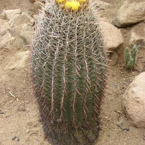 Pythium Root Rot Treatment – Identifying Pythium Rot In Barrel Cactus