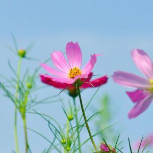 科普:为啥那么多花都被叫成了格桑花?
