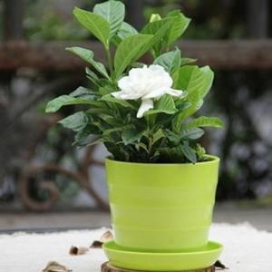 盆栽栀子花的养殖七要素