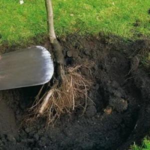 Raíz desnuda, como plantar tu árbol