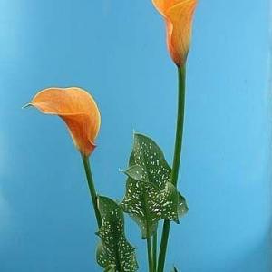黄海芋花语与美丽传说