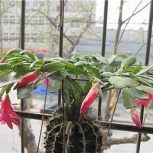 冬季可以观花的植物——仙人指