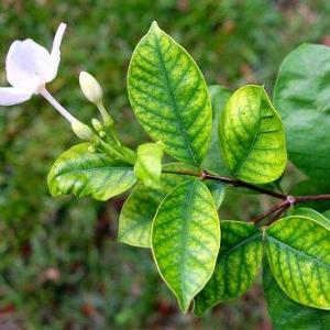 Leaf Chlorosis And Iron For Plants: What Does Iron Do For Plants