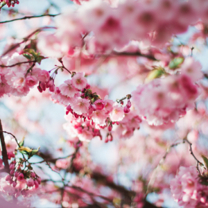 淡雅清新的樱花图片(可以做壁纸哟!)