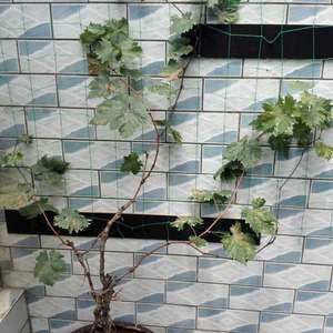 我的葡萄树怎么在夏天连花也不会开就全部变枯黄了,请朋友们支招解决,谢谢!