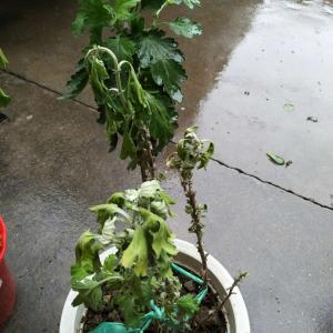 这盆菊花怎么了,有的枝上叶焉了,有的却生长正常?望大神赐教