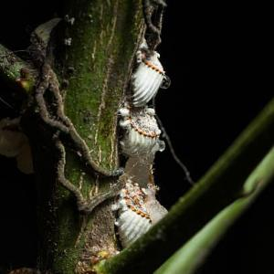 What Is Soft Scale – How To Recognize Soft Scale Insects