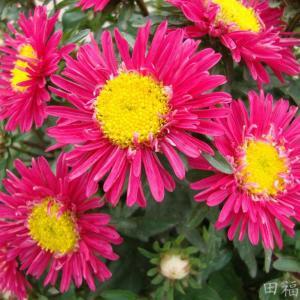 翠菊的花语
