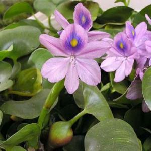凤眼莲的花语及象征代表意义