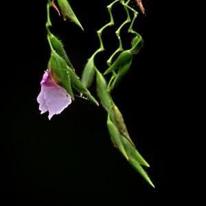 垂花水竹芋图片