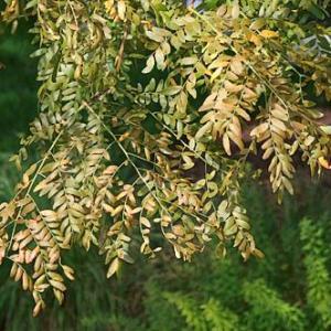 Spider Mite Tree Damage: Control Of Spider Mites In Trees