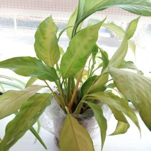 这是什么花?为什么养的叶子都感觉有种水黄的感觉,都不绿了,该怎么养啊?求达人指点😭
