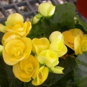 丽格海棠的花语