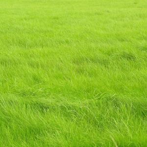 Secret of a Lush Green Lawn   Adding Manure