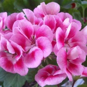天竺葵 的花语
