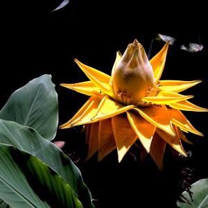 地涌金莲的花语