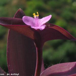 紫竹梅的花语:坚决,勇敢,无畏,无垠力量