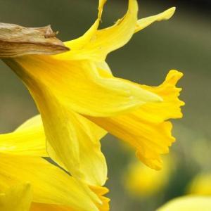 黄色水仙图片