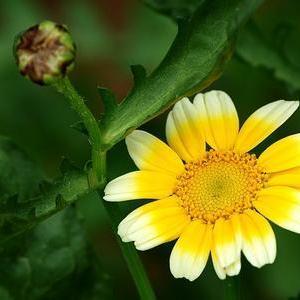 茼蒿花的花语:丰富、多才多艺