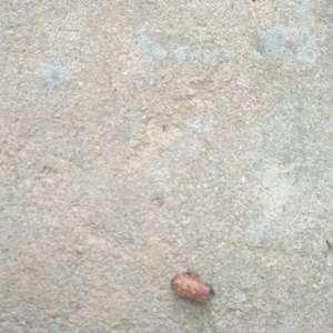 月桂土壤里长出了很多这种虫子,估计是虫卵,里面是白色的。月桂现在叶子干,怎么救呢?