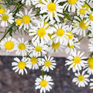 唯美的清新小山菊图片欣赏