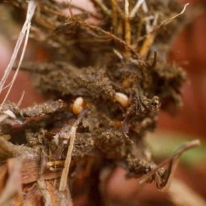 Root-feeding weevil larvae