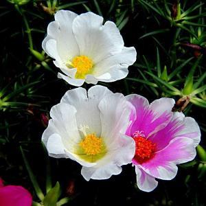传说中死不了的花,3岁小孩都能养活