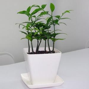 草木灰也能治疗及预防植物的病虫