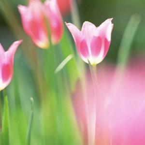 Tulip—Mito enjoy