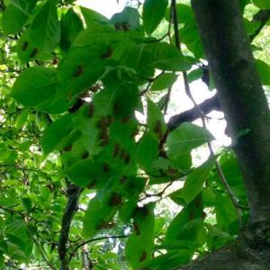 Cicada Bugs In Trees: Preventing Cicada Damage To Trees