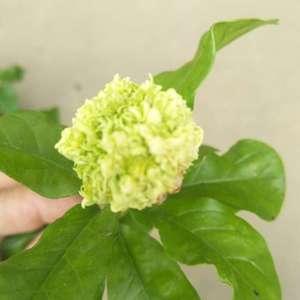 有淮知道虎头茉莉怎么会有这种花包出现,绽放不开就枯萎,一点香味也没有,是哪里环节出问题了吗?